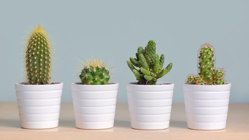 A pikkelysömör 7 típusa - Pikkelysömör kaktusz kezelse