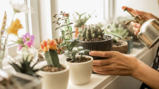 pikkelysömör kaktusz