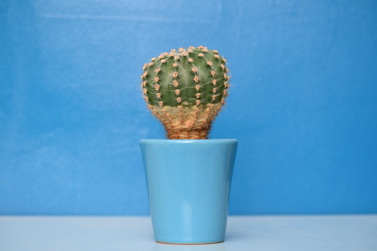 Gyógyítja a pikkelysömör kaktusz